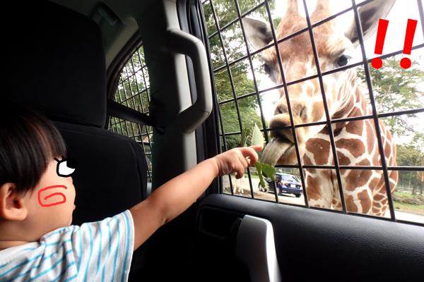 富士サファリパークのキリンにエサをあげる2歳児