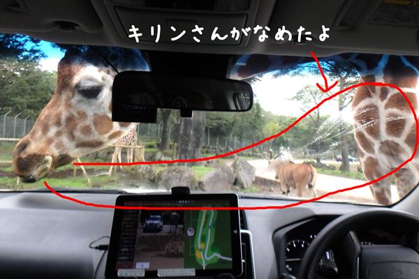 富士サファリパークのキリンに車のフロントガラスをなめられた写真