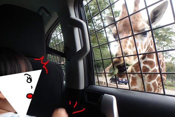 富士サファリパークのナビゲーションカーからキリンにエサをあげる子ども