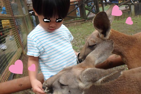 富士サファリパークのふれあいコーナーでカンガルーにかこまれる子供